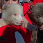 Albino bear charms Polar Zoo crowds