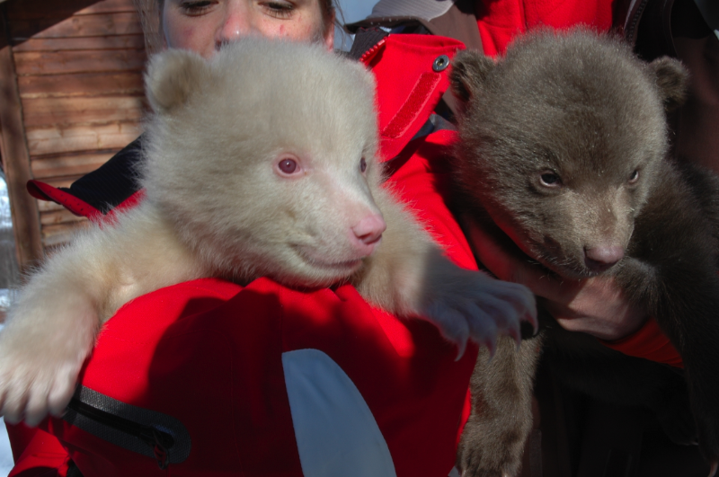 Image Result For Albino Polar Bear