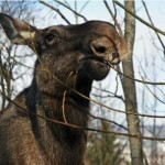 Moose on the loose in Harstad
