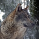 Wolf saved despite new license to kill