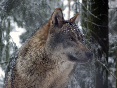 Wolves from Sweden are being blamed for sheep losses, but other predators are guilty as well, along with Norway's open-grazing traditions. Many sheep ranchers let their flocks run free during the summer months, without being fenced in. PHOTO: Wikipedia Commons