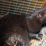 Fur farmers fight pending shutdown