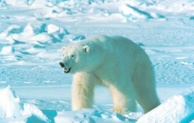 Polar bears rarely manage to kill or injure so many before being shot. PHOTO: Amstrup, Steven/USGS