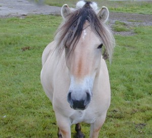 """This Norwegian horse, called a """"fjording,"""" is suddenly in the spotlight in a new Disney film. Breeders hope the film may open new markets for the blond horse in the US. PHOTO: newsinenglish.no"""