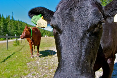 A looming shortage of prime cuts of meat from Norwegian cattle, shown here grazing in Nordmarka last summer, has led to temporary allowance for imports, but consumers can't expect any price relief. PHOTO: newsinenglish.no