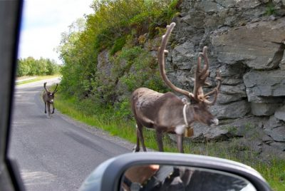 Reindeer can often be seen on the road in the northern county of Finnmark, like here north of Alta. PHOTO: newsinenglish.no