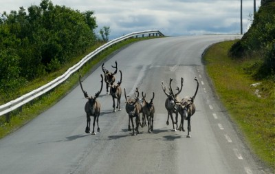 Reindeer seen on the road (the E6 highway, actually) outside Alta spent a long time getting their, as they moved from the mountain plateaus to summer grazing along the coast. PHOTO: newsinenglish.no