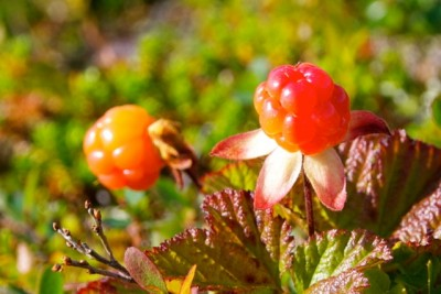 The cloudberries that grow in Norwegian marshes are said to be unusually big this year. PHOTO: newsinenglish.no