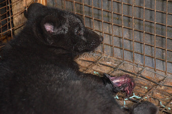 This photo taken by animal rights advocates shows a caged fox with one of its legs chewed off. It believed that the cramped conditions inside the cages lead to aberrant behaviour  among the animals, which end up injuring themselves and then failing to get any treatment. PHOTO: Nettverk for dyrs frihet/Dyrebeskyttelsen Norge