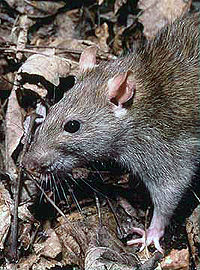 "A so-called ""Norwegian rat."" PHOTO: Wikipedia"