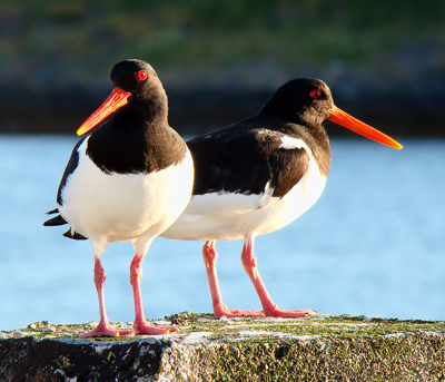 An oystercatcher couple of the kind police are looking for. PHOTO: Bjørn Christian Tørrissen via Wikipedia Commons
