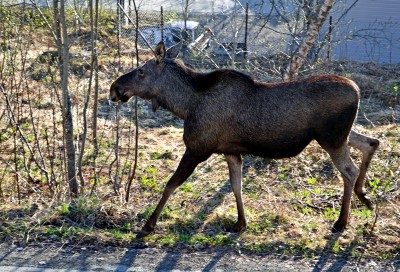 It's not unusual for moose to enter populated areas in Norway, like here in Harstad, and moose have found their way to islands as well. PHOTO: Morten Andersen