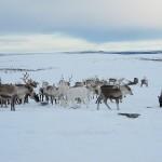 Fur flies over reindeer herds