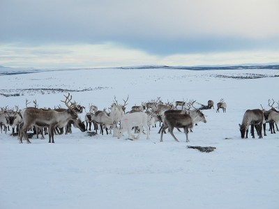"""There are too many reindeer grazing for too little food in Norway's far north, and state officials are demanding a reduction in reindeer herds. Reindeer owners have now been caught """"sabotaging"""" the state slaughtering orders. PHOTO: Landbruks- og Matdepartementet"""