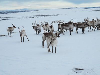 The reindeer's journey usually begins on Finnmarksvidda, the vast mountain plateau in the Norwegian Arctic. PHOTO: Landbruks- og Matdepartementet