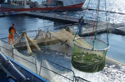 Concerns are now rampant that the actual catch is much larger than fishing industry players are reporting. PHOTO: Nofima
