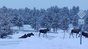 One after another, the moose sauntered across the road at Dalholen in Folldal. PHOTO: NRK/Geir Olav Slåen
