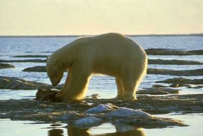 Polar bears like this one are facing a constantly growing challenge to find food. PHOTO: Wikipedia Commons