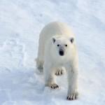 Polar bears return to an Arctic island