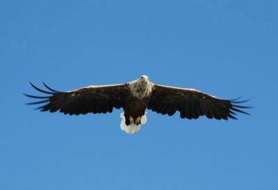 Eagles have been more frequently spotted in northern Norway, like this one flying around Lofoten, but now an eagle pair is nesting in the Oslo Fjord, not far from Drøbak. PHOTO: Wikipedia Commons
