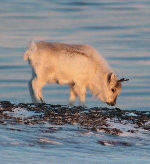 A reindeer calf searched for food during an unusually warm winter on Svalbard in 2012, which brought rain that then froze over grazing areas. PHOTO: NTNU/gemini.no/Brage Bremset Hansen