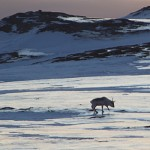 As winter descends on Svalbard, researchers are sounding new alarms about rising temperatures and more rain that are threatening wildlife. PHOTO: NTNU/gemini.no