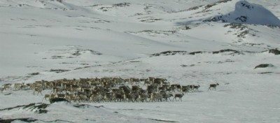 Herds of wild reindeer have again forced the closure of a key highway over the mountains of Hardanger. PHOTO: Statens Vegvesen