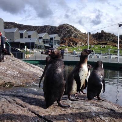 Three baby penguins remained missing Friday from their enclosure at the aquarium in Ålesund. PHOTO: Altlanterhavsparken/Akvarium i Ålesund