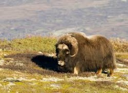 Moskus have roamed the mountains of Dovre for many years. PHOTO: Flickr.com