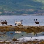NRK's 'slow TV' keen to follow reindeer