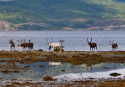 The reindeer's journey ends along the coast, where the grass is greener than at higher elevations. This photo was taken north of Lakselv. PHOTO: newsinenglish.no