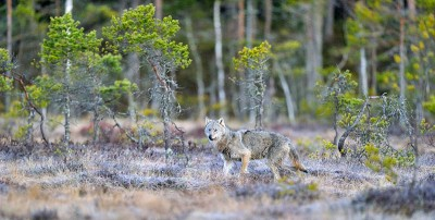 Wolves are a controversial subject in Norway. Reaction to the government's proposals for managing the wolf population were met with howls of protest from all sides. PHOTO: Klima- og Miljødepartementet/Scanpix