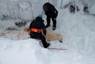 The authorities on Svalbard had to kill a polar bear over the weekend that had been wounded by skiers after they feared it would attack. PHOTO: Sysselmannen på Svalbard/Irene Sætermoen