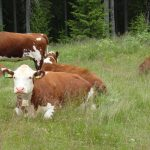 It was a cow like this one, from the Norsk rødt fe race, that attacked an elderly couple while giving birth. PHOTO: newsinenglish.no
