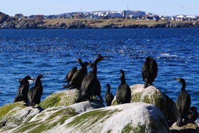 The view from the island of Hornøya back to Vardø, also an island connected to the Norwegian mainland by tunnel. Here, more nesting birds on the island. PHOTO: newsinenglish.no