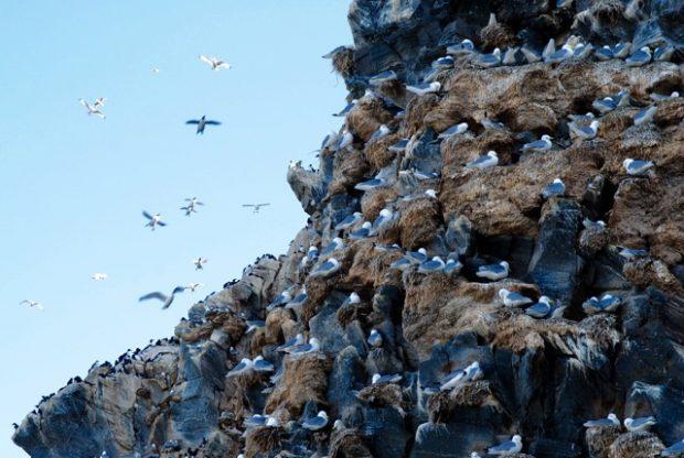 Hornøya, Vardø, birds