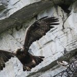 Protests fly over new eagle hunt
