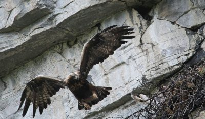 Norway's golden eagles have been protected for nearly 50 years, but now the Norwegian Parliament has opened up for a limited hunt at the urging of farmers and ranchers and their biggest political ally, the Center Party. PHOTO: Statsskog SF Fjelltjenesten/John Lambela