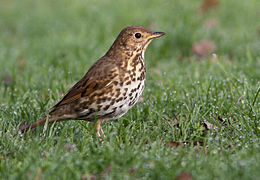 The Norwegian måltrost (song thrush) is often seen at this time of year, as is the black-feathered version that literally can sing in the middle of the night. Now they're vulnerable to be shot. PHOTO: Wikipedia