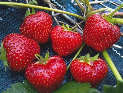 This is how the Norwegian farmers' organization likes to picture Norwegian strawberries, but this year, nearly half the crop has been spoiled by a fungus that leaves the berries rotting in the field. PHOTO: Norges Bondelag