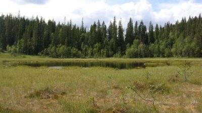 Marshes like this one in the northern portion of Nordmarka can be full of cloudberries, while blueberry bushes can be found along many trails. The best areas for finding the bounty of the forests are beyond the main trails near popular trailheads. PHOTO: newsinenglish.no