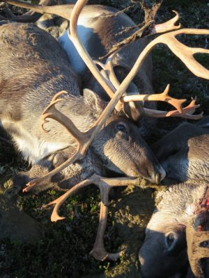 Norwegian authorities have decided to leave the more than 300 dead reindeer found over the weekend where they're lying, on a mountain plateau in Hardanger. The reindeer are believed to have been killed by lightning. PHOTO: Miljødirektoratet/Statens naturoppsyn/Håvard Kjøntvedt