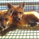 Fur farmers face more restrictions