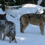 Three wolves shot as big hunt resumes