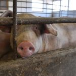 Pigs suffering at Norwegian farms