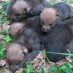 Wolf pups found in eastern Oslo forest