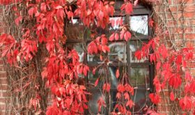 The autumn leaves, of red and gold