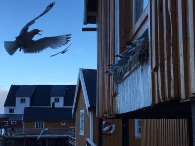 Warnings fly over aggressive seagulls
